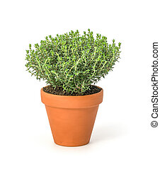 Thyme in a clay po
