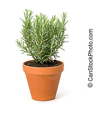 Rosemary in a clay pot