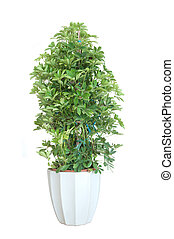 Plant bonsai - Schefflera arboricola house plant in flower...
