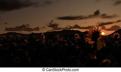 Sunflower field, time lapse sunrise