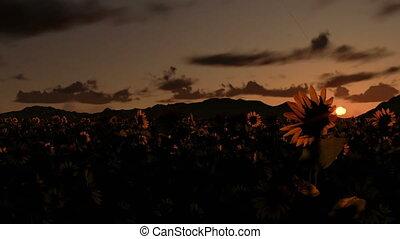 Sunflower field, time lapse sunrise