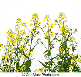 Rape flower - Isolated on white background with flower of...