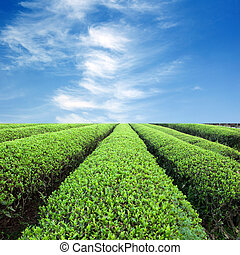 Large areas of tea plantation - Blue sky, the large area of...