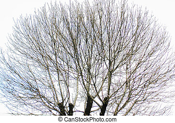 treetop without leaves isolated