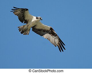 Osprey in Flight - An Osprey in flight in Mexico