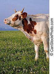 serio, vaca