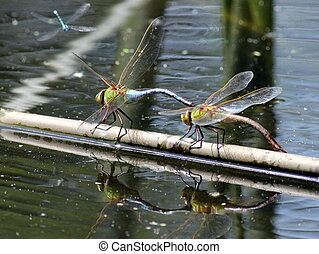 Common Green Darners - A pair of Common Green Darner...