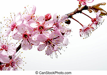 Japanese cherry tree blossom - Spring image of a cherry tree...