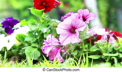 Pansy flowers outside