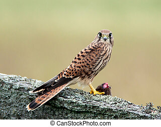 Kestrels catch (Falco tinnunculus) - The young kestrel wiht...