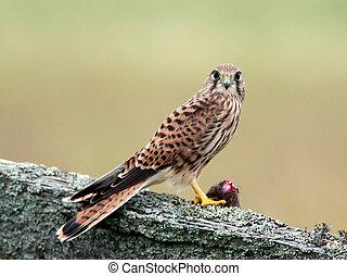 Kestrels catch (Falco tinnunculus) - The young kestrel wiht...