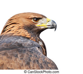 Golden eagle portrait isolated on white