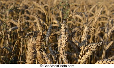 closeup wheat plant field