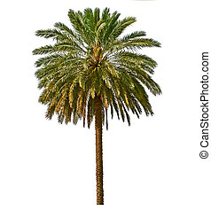 Palm tree isolated on white background. Canary date palm...