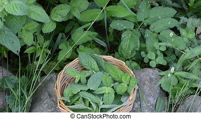 mint plant wicker dish - mint plant used for medicine herbs...