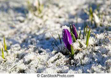 crocus flower in snow during early spring - purple crocus...