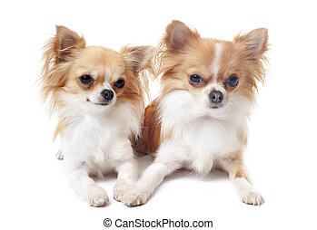 couple of chihuahuas - portrait of a cute purebred...
