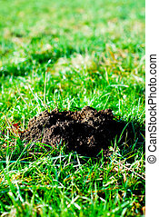 molehill - Fresh molehill on a green meadow garden