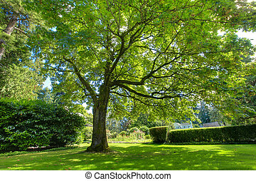 Large green oak tree near historical house. - Large green...