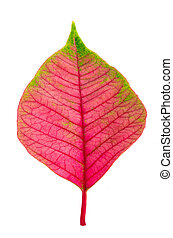 Pink leaf isolated on white background