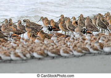 Layers of Shorebirds - Several species of migratory...