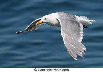 Glaucous-winged Gull in Flight - Glaucous-winged Gull in...