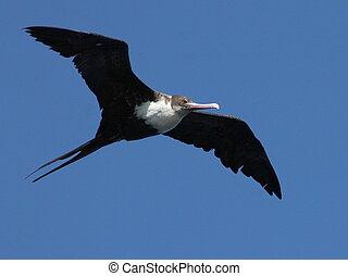 Great Frigatebird in Flight in Kauai