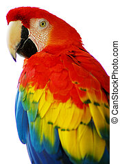 Red Blue Macaw Bird - An isolated shot of a Red Blue Macaw...
