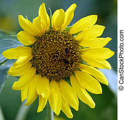 Honeybee on Yellow Sunflower in Bloom - An isolated shot of...