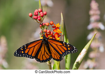 Monarch Butterfly on Flower - Monarch butterfly on a flower...