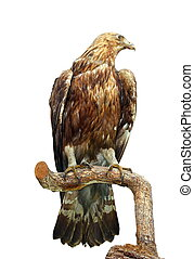 taxidermy mount of an eagle standing on a branch isolated...