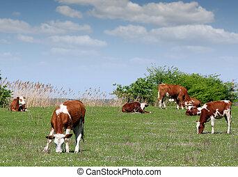 cows and calf on pasture farm scene
