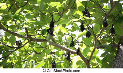 Relaxed flying foxes sleeping on the tree during day