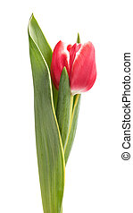 beautiful single tulip, isolated on white background