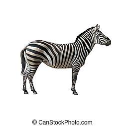 Zebra. Isolated illustration on white background.