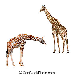Two giraffes. Portrait of a giraffe isolated on white...