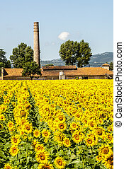 Field of sunflowers near Foligno (Umbria) - Horizontal and...