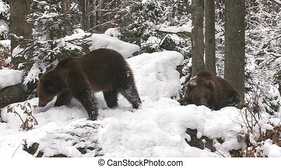 brown bear in winter