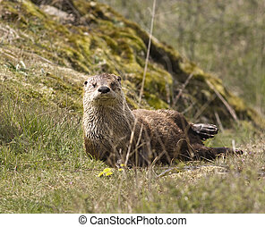 Wild River Otter - A wild northern river otter lontra...