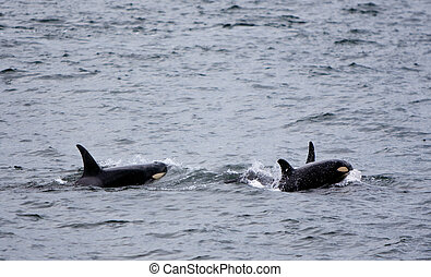 Baby Whale With Mother - A baby killer whale (orcinus orca)...