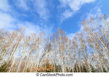 Tall birch trees forest wall in sunny day