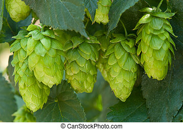 hop cones- raw material for beer production