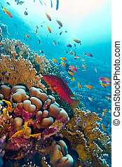 coral reef with red exotic fish cephalopholis at the bottom...