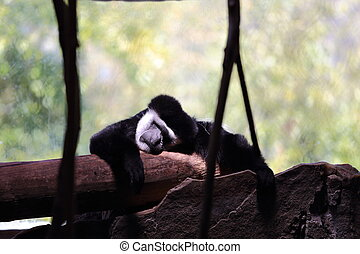 Gibbons Resting - A black and white gibbon sleeping on a log