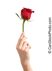 Beautiful woman hand holding a red rosebud on a white...