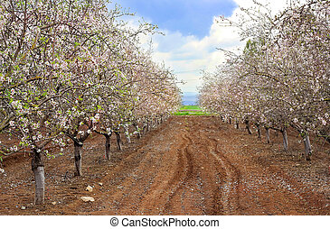 blossoming garden of peach trees - Alley of blooming peach...