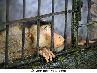 Monkey in a cage - Monkey looking out through the cage....