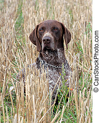 German Short-haired Pointing Dog on the corn field - The...