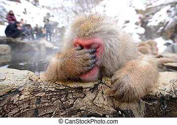 Japanese Snow Monkey - A Japanese Macaque, reacting...