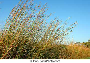 Big Bluestem prairie grass - Big Bluestem tall grass...